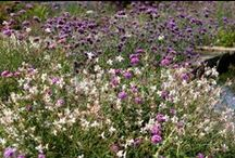 Gaura Combinations / Plant partnerships that include gauras (also known as wandflowers or appleblossom grasses)
