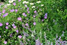 Geranium Combinations / Plant partnerships that include hardy geraniums (also known as cranesbills)