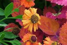 Helenium Combinations / Plant partnerships that include heleniums (also known as Helen's flowers)