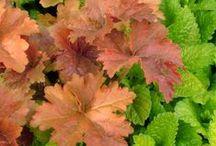 Heuchera Combinations / Plant partnerships that include alumroots, coral bells, or hybrid heucheras