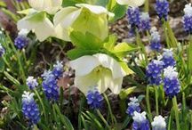 Helleborus Combinations / Plant partnerships that include Lenten roses, bearsfoot hellebores, and other hellebores