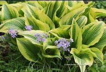 Hosta Combinations / Plant partnerships that include hostas