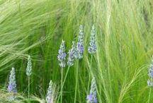 Lavandula Combinations / Plant partnerships that include lavenders