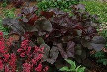 Ligularia Combinations / Plant partnerships that include ligularias