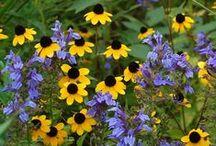 Lobelia Combinations / Plant partnerships that include cardinal flower, great blue lobelia, or other perennial lobelias