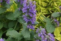 Nepeta Combinations / Plant partnerships that include catmints