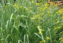Panicum Combinations / Plant partnerships that include switch grasses and panic grasses