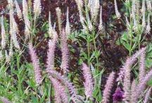 Pennisetum Combinations / Plant partnerships that include hardy fountain grasses