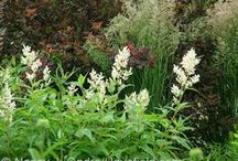Persicaria Combinations / Plant partnerships that include fleeceflowers (also known as knotweeds)