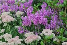 Physostegia Combinations / Plant partnerships that include obedient plants