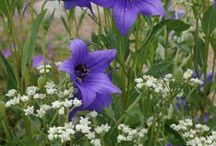 Platycodon Combinations / Plant partnerships that include balloon flowers