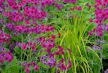 Primula Combinations / Plant partnerships that include primroses