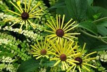 Rudbeckia Combinations / Plant partnerships that include black-eyed Susans, giant coneflowers, orange coneflowers, or other rudbeckias