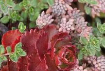 Sedum Combinations / Plant partnerships that include sedums (also known as stonecrops)