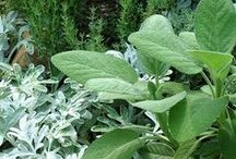 Plants: Herbs in Combinations / Plant partnerships that include edible, fragrant, medicinal, or ornamental herbs