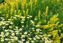 Plants: Perennial Combinations / Plant partnerships that feature flowering and/or foliage perennials