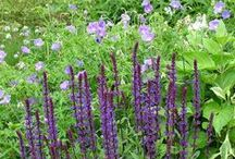 Color: Blue and Purple Combinations / Plant partnerships that include flowers and foliage in tints and shades of blue to purple