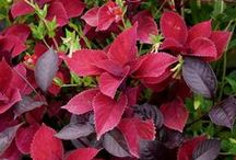 Color: Red Combinations / Plant partnerships that include red flowers, foliage, stems, or berries