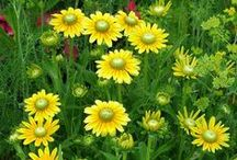Color: Yellow Combinations / Plant partnerships that include yellow to golden flowers or foliage