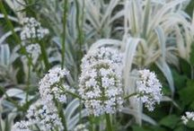 Color: White Combinations / Plant partnerships that include white flowers or white-variegated foliage