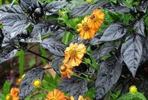 Color: Black Combinations / Plant partnerships that include deep purple to practically black flowers or leaves