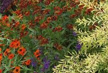 Color: Hot-Color Combinations / Plant partnerships featuring reds, oranges, and yellows