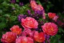 Plants: Roses in Combinations / Plant partnerships that include roses