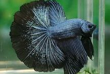 betta and other fish