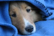 Shelties / For All Things Sheltie :)