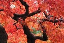 God's  Masterpiece.  / The exquisite ,in any season ,Japanese Maple. / by Anne Kirkpatrick