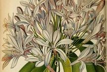 ART: Botanical Drawings