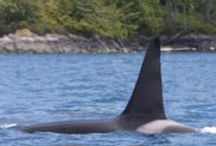 Adopt an orca / Help orcas in the wild and captivity by adopting an orca belonging to the Northern Resident population living off the coast of British Columbia, Canada. http://whales.org