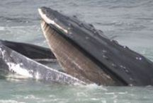 Adopt a humpback whale / Support WDC's work by adopting one of the humpback whales that spend the summer months feeding in the Gulf of Maine off the east coast of the US.