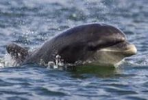 Adopt a dolphin / The bottlenose dolphins in the Moray Firth, Scotland are the most northerly resident population of this species in the world.