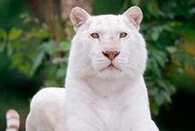 White = Albinos