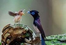 Birds of Paradise / Paratiisilinnut