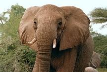 Elefantes / Elephants / by Elvira Santiago