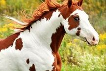 Paint horse & pinto