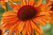 Perennial - Full Sun
