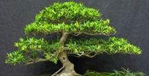 Bonsai: Ficus