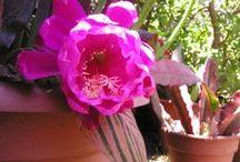 Epiphyllum / .