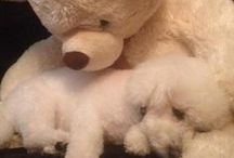 Bichons ( my babies ) / Love at First Sight / by Stacey Wiley-Folmar