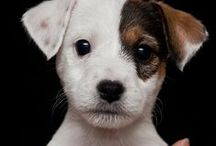 Jack Russell Terrier / JRT