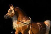 Arabian horses / AVS - Arabische volbloed