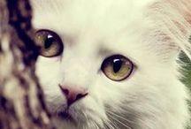 cats / tigres