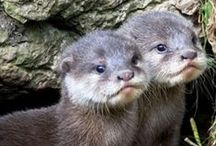 Animals - Otters
