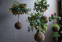 Kokedama / Boules de mousse végétalisées.... Inspirées et venues du Japon