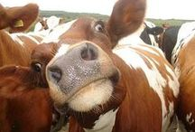 Cows are my friend