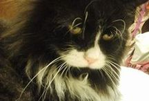 ❤ tuxedo cats / I have a 3 yr old 20 lb tuxedo cat I rescued..his name is Trevor and I adore him ❤ / by ☪ᏕᏂÅz *⁀ღ