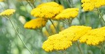 Yarrow Magic / Yarrow is like a good, long time friend -- the perfect complement. When needing something to protect against negativity, yarrow is there, providing a shield. When delving deep into the spiritual world. yarrow helps heighten our experience, and assists us in seeing more clearly.  -- Yarrow Magical Properties and Uses